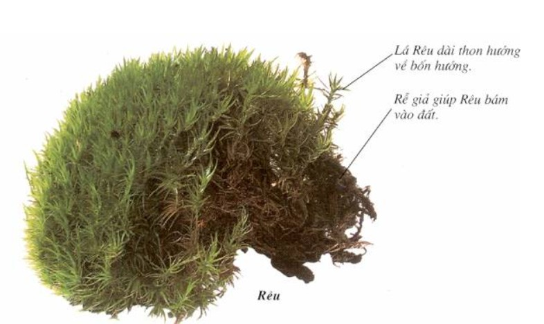 Cấu tạo của cây rêu
