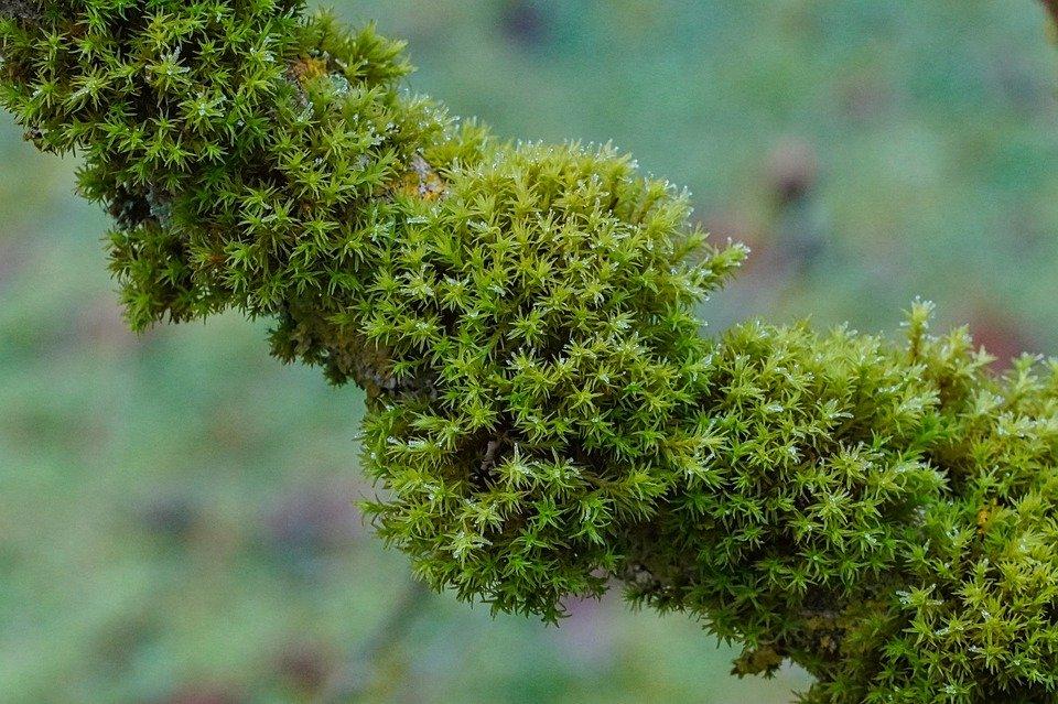 Hình ảnh của cây rêu