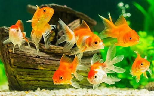 Cá vàng đẻ con hay đẻ trứng