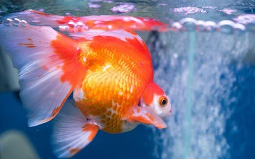 Tìm hiểu về loài cá vàng