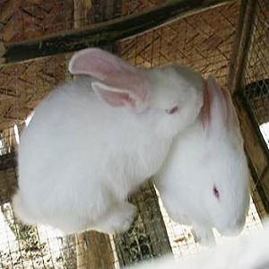 Thỏ đẻ trứng hay đẻ con