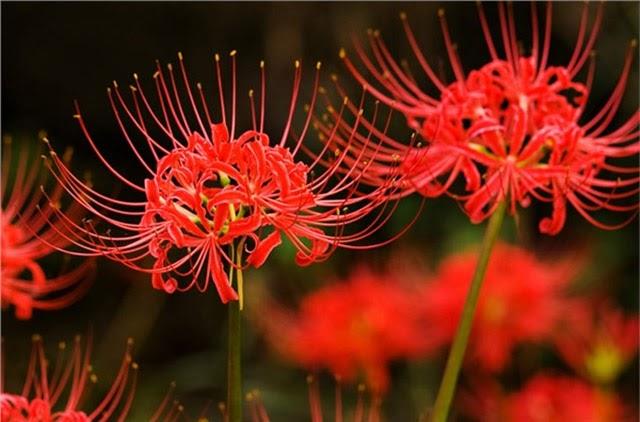 Đặc điểm đặc trưng của loài hoa Bỉ ngạn