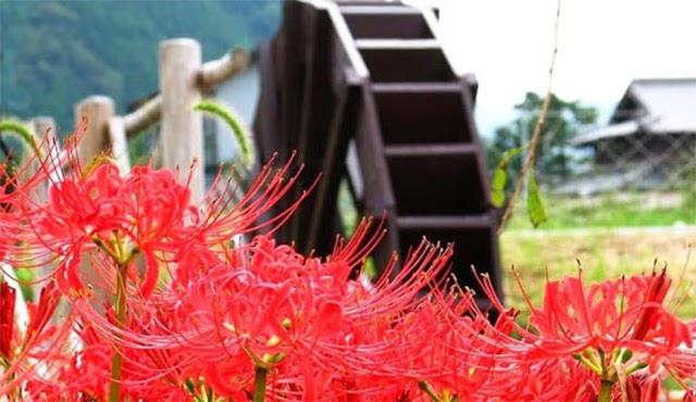 Ý nghĩa hoa bỉ ngạn trong phong tục, tập quán