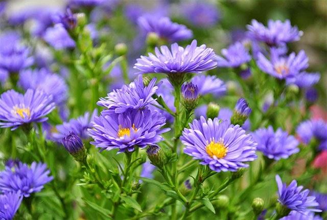 Hoa thạch thảo bình dị nhẹ nhàng